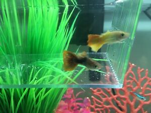 2 Beautiful Male Guppies For Sale!