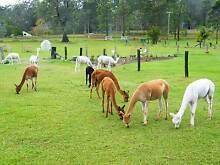 Alpacas for Sale Kempsey Area Preview