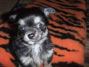 Chihuahua Puppies Pure Bred. Kyneton Macedon Ranges Preview