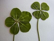 4-leaf clovers (and some 5-leaf clovers for $50) Coorabell Byron Area Preview