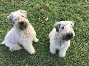 Wheaten terrier Soft Coat