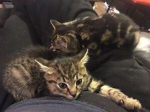 Kittens Benalla Benalla Area Preview