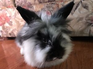 Baby Black and White Lionhead Bunny