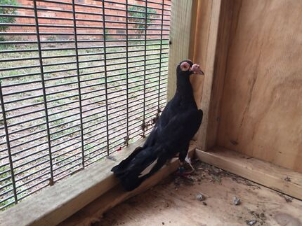 Female carrier pigeon for sale