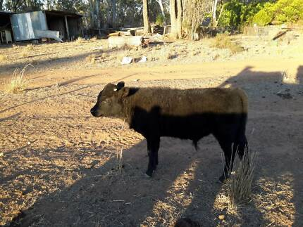 DEXTER CATTLE FOR SALE Clermont Isaac Area Preview