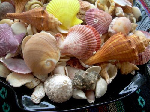 10 lbs. Mixed Seashells Sea Shells Crafts Decorating Aquarium Lot FREE Ship!