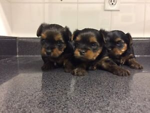 3 MALE TOY YORKIE PUPPY