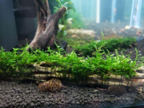 "Java Moss on Cholla Wood (5-6"") Aquarium Live Plant USPS Shipping Buy2 Get1 Free"