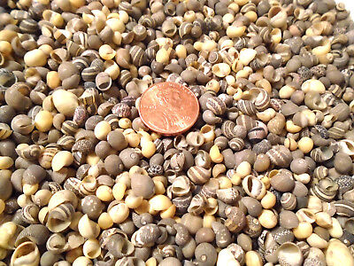 300 TINY MINI MIX Seashells Beach Wedding Crafts Miniature Shells Fairy Garden  -