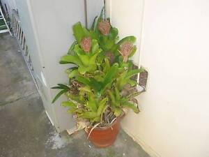 Large plant in a terracotta pot Newcastle Newcastle Area Preview