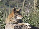 Desert Coyote Den