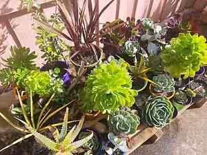 Mix garden plants in pot Roxburgh Park Hume Area Preview