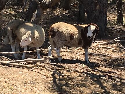 3 Rams for sale