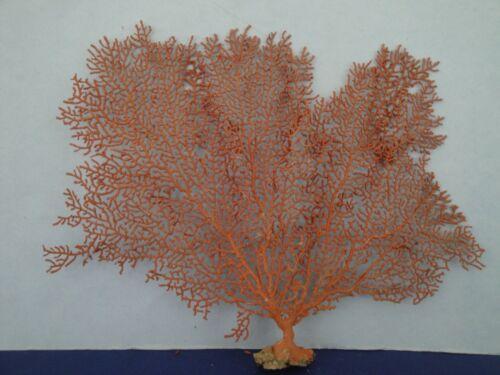 "9.5"" x 7.5"" Pacifigorgia Natural Red Sea Fan Seashells Reef Coral"
