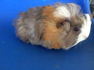 Female baby guinea pigs long haired Willetton Canning Area Preview