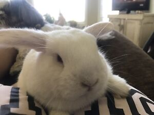 7 month old male Holland Lop with large cage- $140 OBO