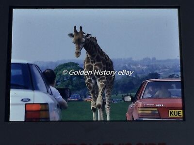 OLD CORTINA CAR GIRAFF BETWEEN CARS  35mm SLIDE PHOTO PICTURE VINTAGE PHOTOGRAPH