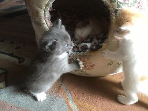 Scottish fold / ragdoll kittens Sunbury Hume Area Preview