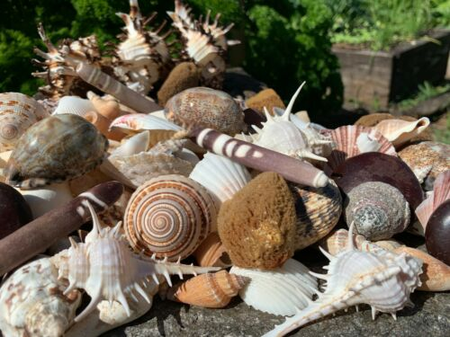 Huge Lot of Beautiful Seashells 5+ LBS Sea Shells Best Price! Free Ship!