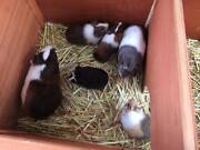 Guinea pigs Hammond Park Cockburn Area Preview
