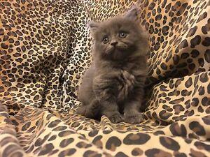 British shorthair kittens x domestic Melton South Melton Area Preview