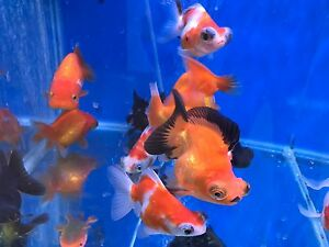 Quality new Fancy Goldfish - Demekins and Demimoors Hampstead Gardens Port Adelaide Area Preview