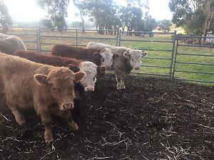 4 Hereford cross calves. Birdwood Adelaide Hills Preview