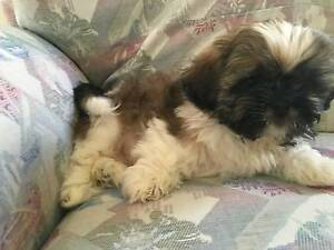 Shih Tzu Purebred and Pedigreed Puppy Ashmore Gold Coast City Preview