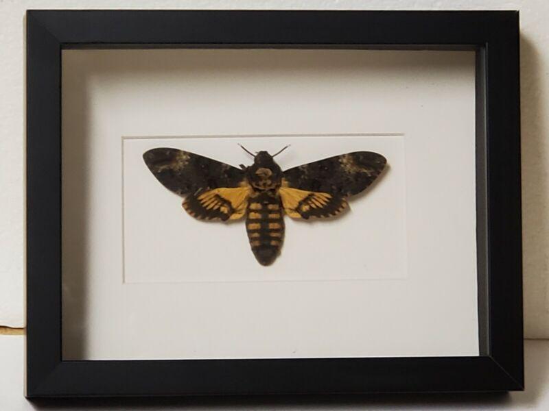 Real framed Deaths Head Moth from Czech Republic