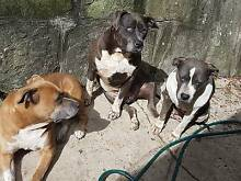 Quiet Well-trained Friendly American Staffies. Great family pets! Chatswood Willoughby Area Preview