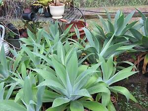 AGAVES IN POTS x 20 HARDY DROUGHT TOLERANT PLANTS UP TO 1M Brisbane City Brisbane North West Preview