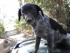 2 Cattle Dog Puppies. Yeppoon Yeppoon Area Preview