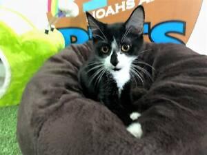 Sabrina- Playful Female Kitten Ready For Adoption!