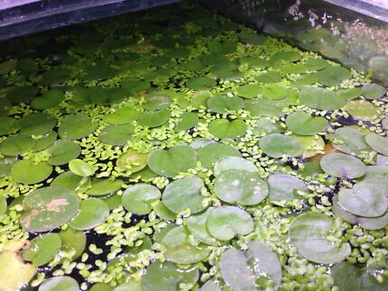 duckweed frogbit floating pond plant aquarium fish tank feeder East Perth Perth City Preview