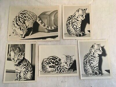 Lot of 5 vintage B&W photographs of pet OCELOT cat near clock & painting