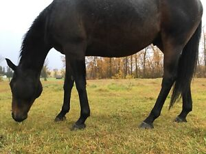 13 Year Old OTTB Green/Project Gelding
