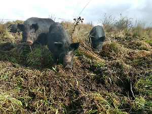 Berkshire Pigs Narrawong Glenelg Area Preview