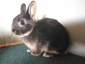 Purebred Netherland Dwarf Bunny Maddington Gosnells Area Preview