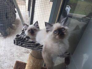 Purebred Birman kittens 2 boys 1 girl left Peak Crossing Ipswich City Preview