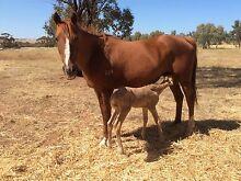 Quarter horse registered foundation TB mare York York Area Preview