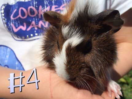 Guinea Pig Boy Toormina Coffs Harbour City Preview