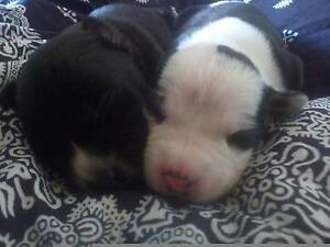 Pup Pups Puppy Puppies Redcliffe Redcliffe Area Preview