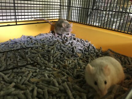 2 male mice - happy pair with complete set up