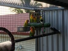 Fischers lovebirds Maitland Maitland Area Preview