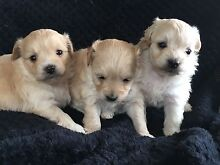 Adorable tiny poochi puppies Morisset Lake Macquarie Area Preview