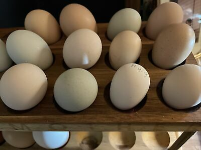 Bantam Hatching Eggs 8 Rainbow Mix Silkie Frizzle More