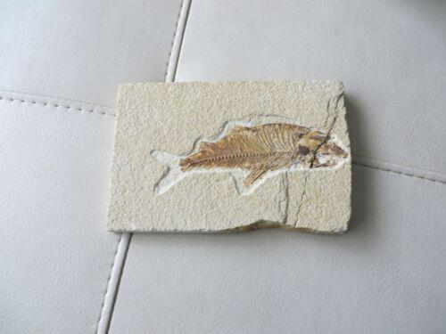 "Diplomystus dentatus  • 5.5"" Fossil Fish (50 Million Years Old) VCG"
