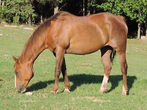 Jument quarter horse enregistrée
