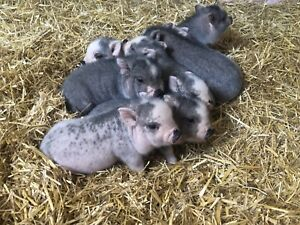 Mini Potbelly Piglets