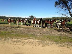 Depot Horses In Transit Echuca Campaspe Area Preview